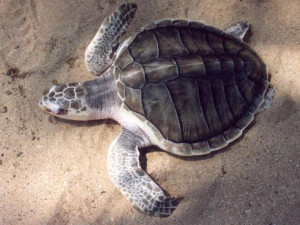 Olive-ridly-turtle